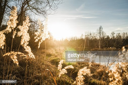 Landscape of reeds on riverbank at dawn