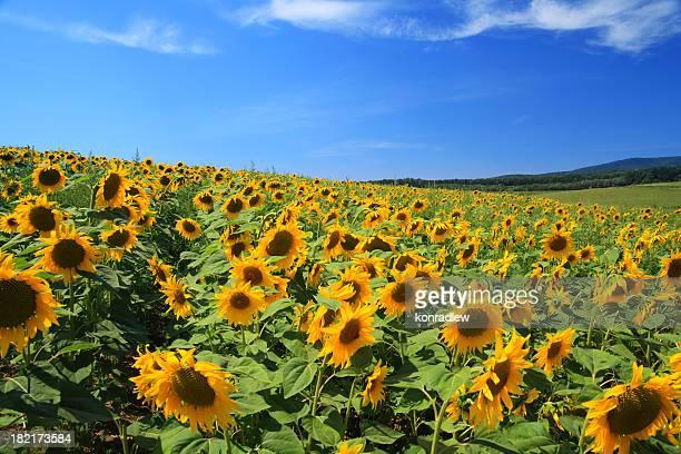 Landscape - Sunflower field