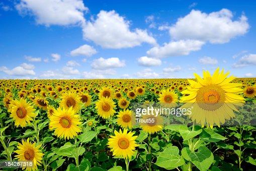 Landscape - Sunflowers