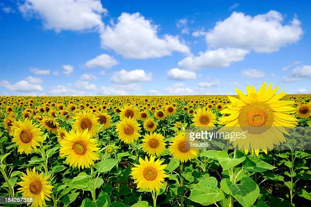 Landscape - Sunflowers