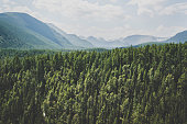 Landscape with forest mountains. Altai, Siberia. High fir on the slopes of the Altai mountains. The harsh Russian landscape.