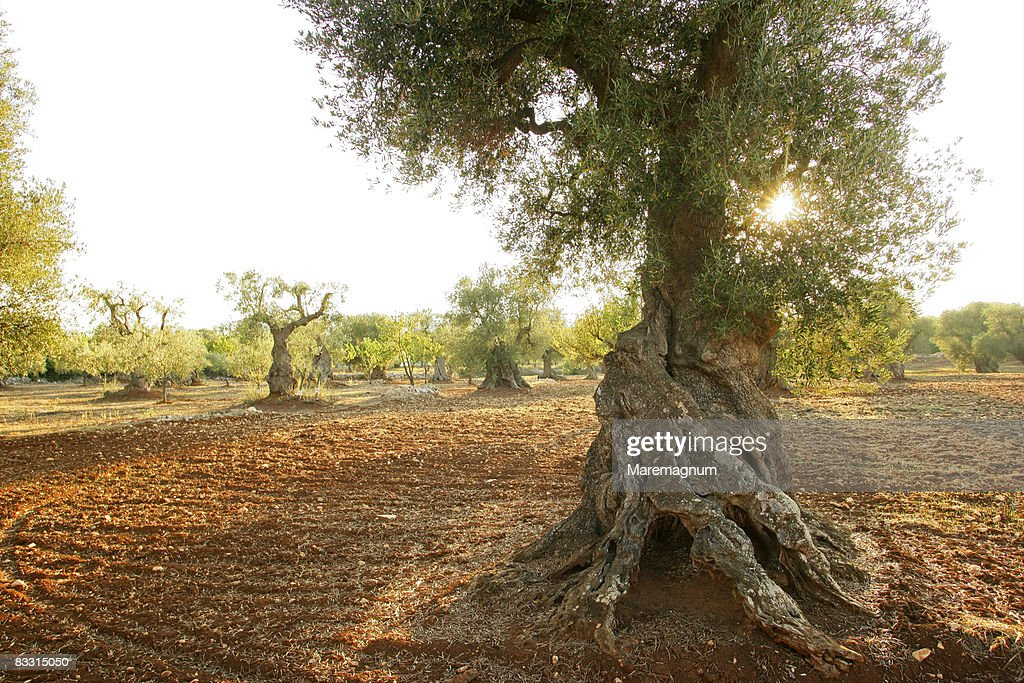 Landscape with olive tree