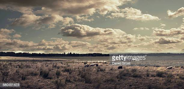 Landscape with pasturing cows