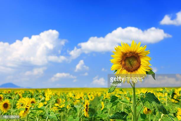 Landschaft mit Sonnenblumen