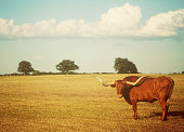 Landscape with Texas Longhorn