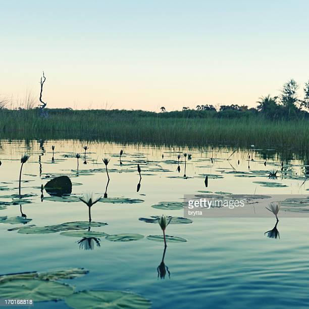 Landscape with water lilies  at dusk , Okavango Delta in Botswana.