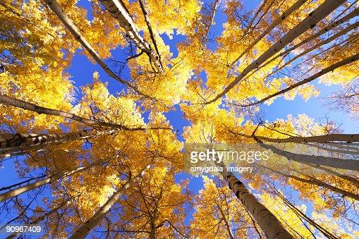 黄秋のアスペンの木が景観
