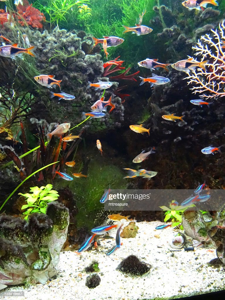 landscaped freshwater tropical aquarium fishtank neontetra fish guppies harlequin