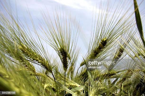 Landwirtschaft Gerstenaehren auf einem Gerstenfeld