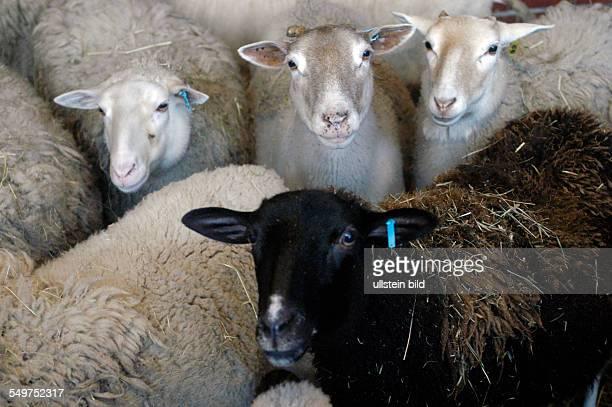 LandwirtschaftlichGaertnerische Fakultaet der HumboldtUniversitaet in Dahlem Schafe im Stall