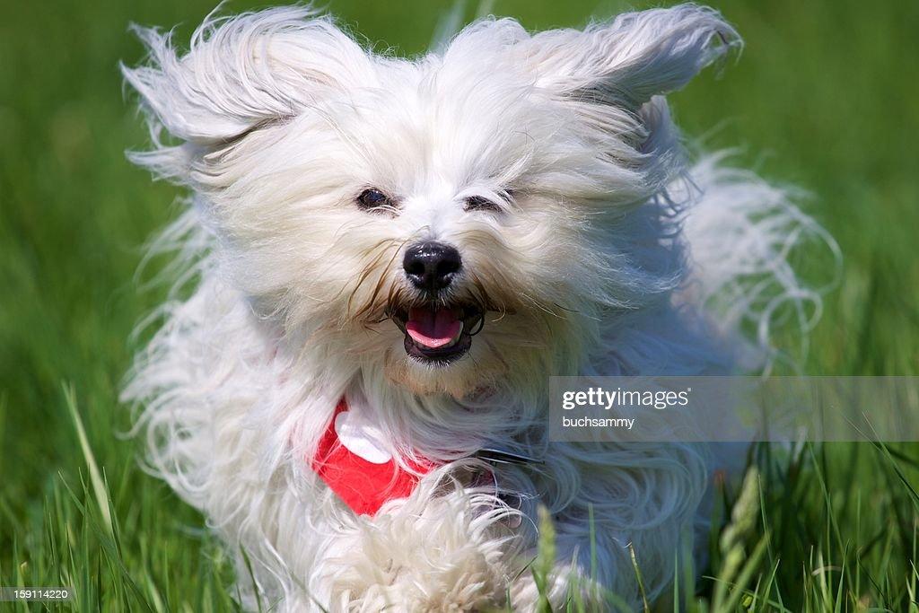 Langhaar Hund beim Rennen : Stock Photo