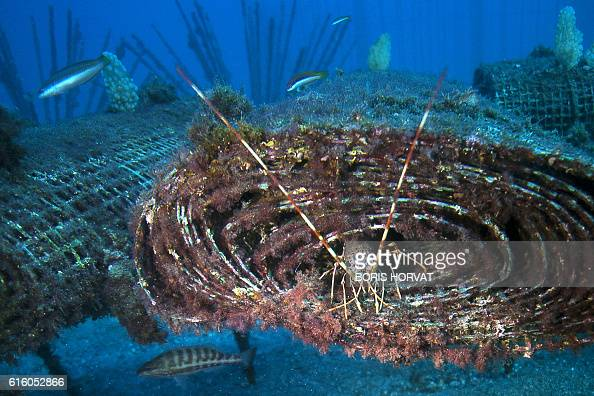 A langoustine comes out of an artificial reef of the Ecological Restoration by Artificial Reefs in Oceans Environment project on October 21 2016 off...