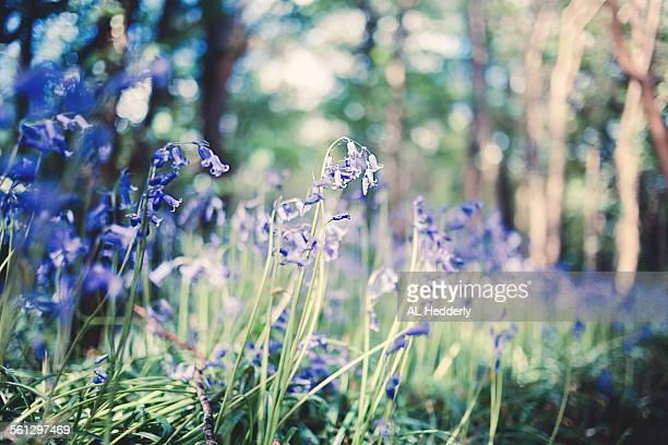 Lanhydrock Bluebells, Cornwall