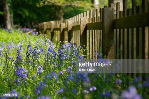 Lanhydrock Bluebells : Stock Photo