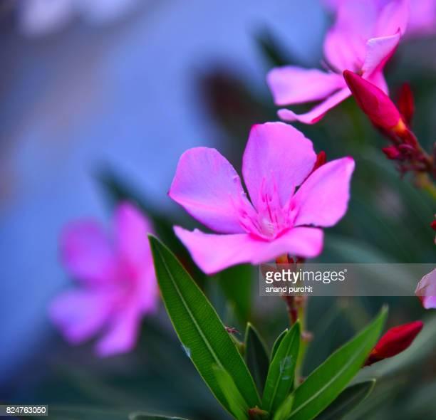 Lanthom flower, Frangipani, Champa - Beautiful blooming pink flowers