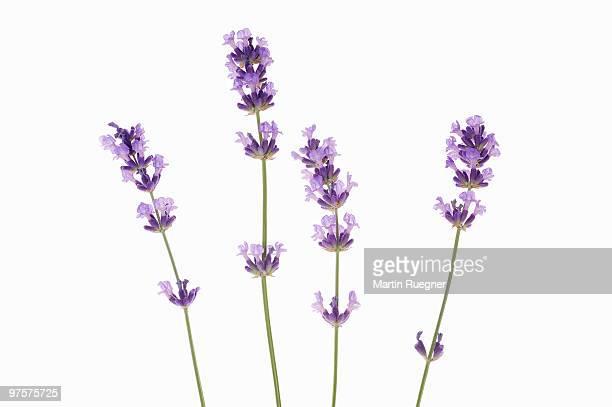 Lanvender against white background.