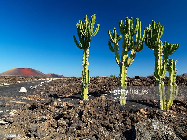 lanzarote, volcanic landscape with cactuses