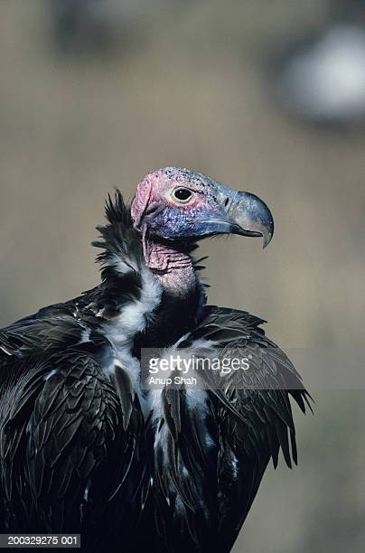 Lappet-faced  vulture (Torgos tracheliotus), Masai Mara National Reserve, Kenya