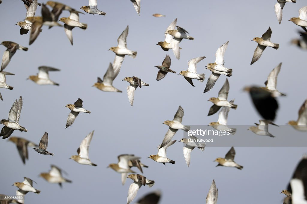 Lapwing and Golden Plover circle over a pond at the Kent Wildlife Trust's Oare Marshes in the Thames Estuary on October 13, 2017 in Faversham, England.