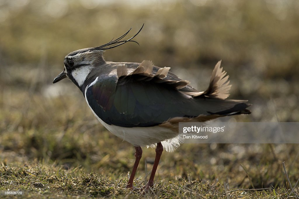 A Lapwing walks through the grassland at Elmley Marshes on April 7, 2013 in Sheerness, England. Many migrant species from continental Europe and North Africa will likely be arriving on UK shores as the prolonged cold climate that has gripped much of Britain recently makes way for milder and more seasonable weather. The RSPB's Elmley Marshes lies on the Isle of Sheppy, and is managed by the Elmley Conservation Trust. The three and a half acre reserve has the highest density of breeding waders in southern England including Avocet and Redshank. The area is also known to be one of the best sites in the UK to view birds of prey which include Peregrine Falcon, Marsh and Hen Harriers, Rough Legged Buzzards and Short Eared Owl.