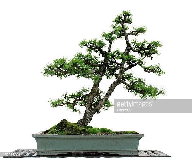 Mélèze bonsaï sur blanc