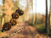 Autumn mood with Larch Cones with forest path blurred in background