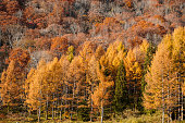 Larch forest in Toyama, Japan.