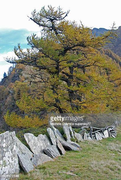 Larch tree on the Lombard Alps