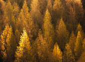 Autumn background with golden larch trees illuminated by the sunlight.