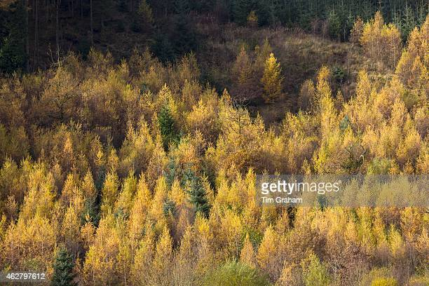 Larch trees Larix decidua in shades of autumn colour in coniferous forest plantation for timber production in the Brecon Beacons Wales UK