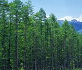 Larch woods