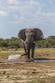 Large African Bull Elephant Caprivi Region Namibia