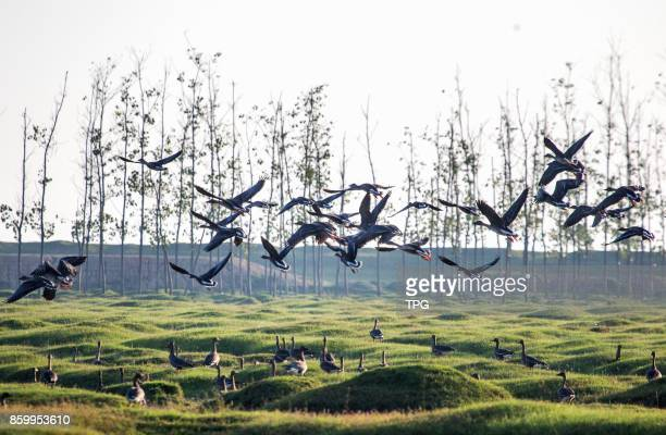 Large amount of migratory birds include white cranewhitenaped crane and swan goose etc fly to Poyang Lake for overwintering on 10th October 2017 in...