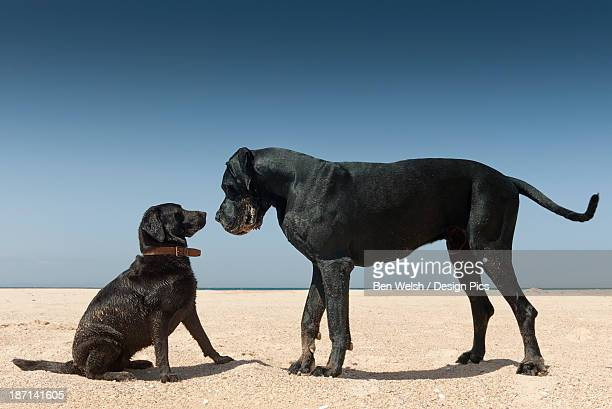 A Large And Small Dog Nose To Nose On The Beach