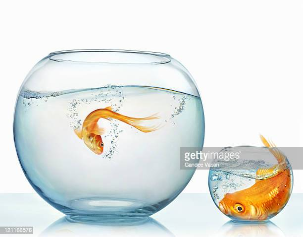 Large and small goldfish
