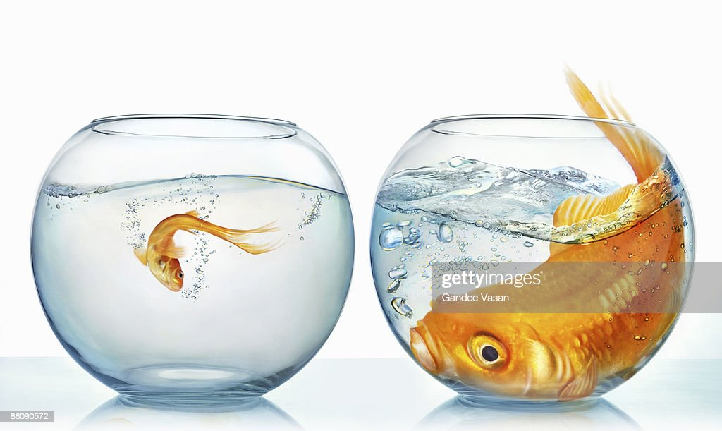 Large and small goldfish : Stock Photo
