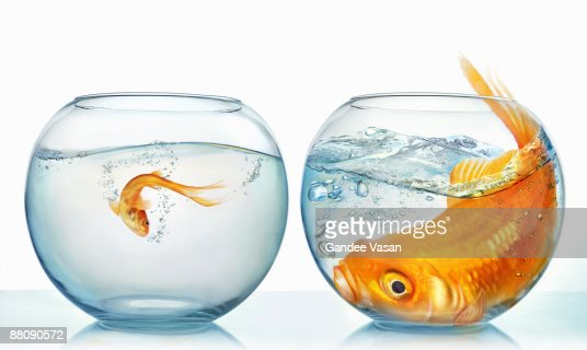 Large and small goldfish : Foto stock
