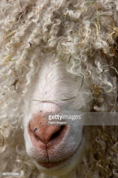 Large Angora goat buck close up Warwickshire