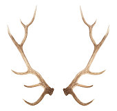 Large antler isolated on a white background