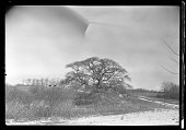 Large bare tree growing in sandy soil Unidentified low buildings on hill in background Blurry New York New York late 19th or early 20th century