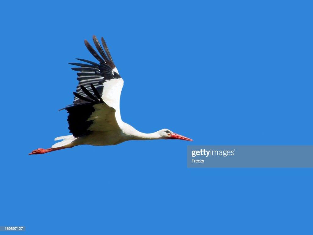 flying stork : Stock Photo