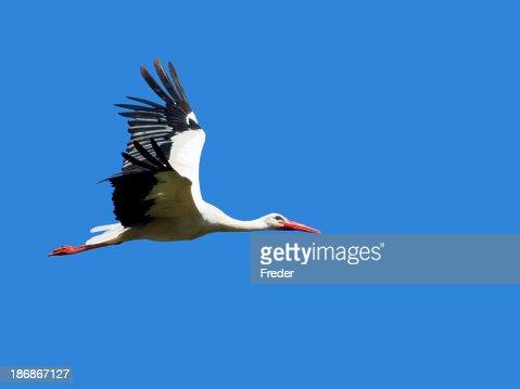 Large black and white bird with orange beak and feet flying