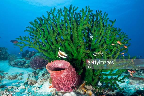 Large Black Sun Coral, Barrel Sponge, Komodo National Park, Indonesia