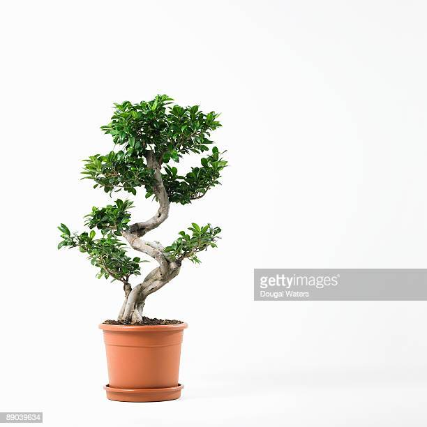 Large bonzai tree on white background.