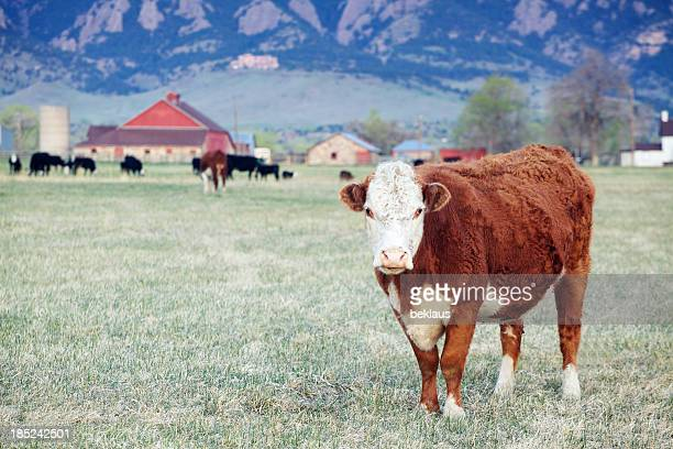 Large Brown and White Cow in Field with Red Barn