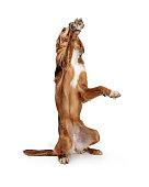 Large brown mixed breed dog sitting up raising paw to beg