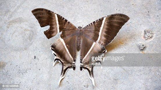 Large brown moth (Lyssa zampa) or Uranid Moth, Malaysia : Foto stock