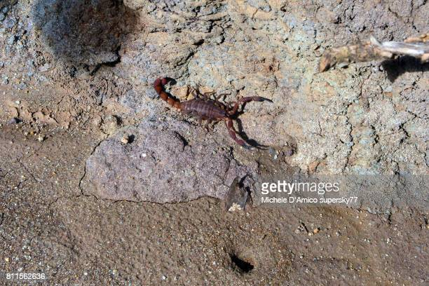 Large brownish scorpion in a gully