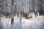 Large bull elk in aspen forest, Banff national Park, early winter.