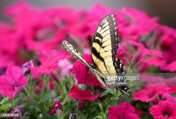 A large butterfly lands on some flowers in a hospitality unit beside the 10th hole during the third round of the 2017 PGA Championship at Quail...